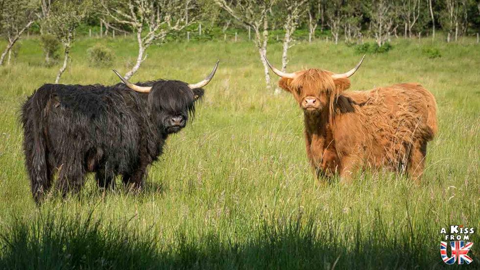 Vaches écossaises à Appin en Ecosse - 5 endroits où voir des vaches écossaises à coup sûr - Découvrez les mielleurs lieux pour trouver des vaches Highlands pendant votre voyage en Ecosse - A Kiss from UK le blog et guide du voyage en Grande-Bretagne