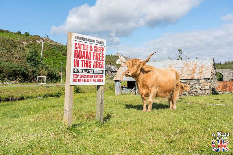 Duirinish, le village des vaches écossaises - 50 endroits à voir absolument en Ecosse – Découvrez les lieux incontournables en Ecosse et les plus beaux endroits d'Ecosse à visiter pendant votre voyage | A Kiss from UK