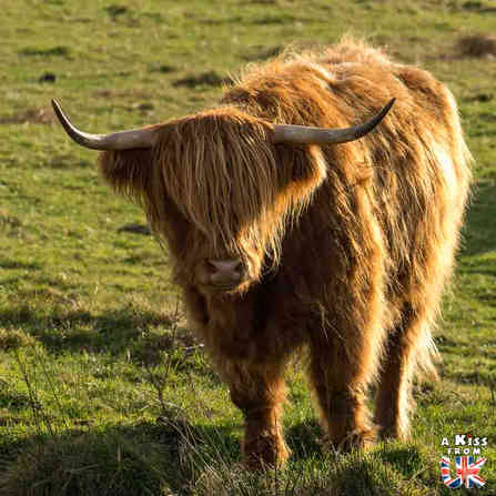Vaches écossaises sur l'île de Skye en Ecosse - 5 endroits où voir des vaches écossaises à coup sûr - Découvrez les mielleurs lieux pour trouver des vaches Highlands pendant votre voyage en Ecosse - A Kiss from UK le blog et guide du voyage en Grande-Bretagne