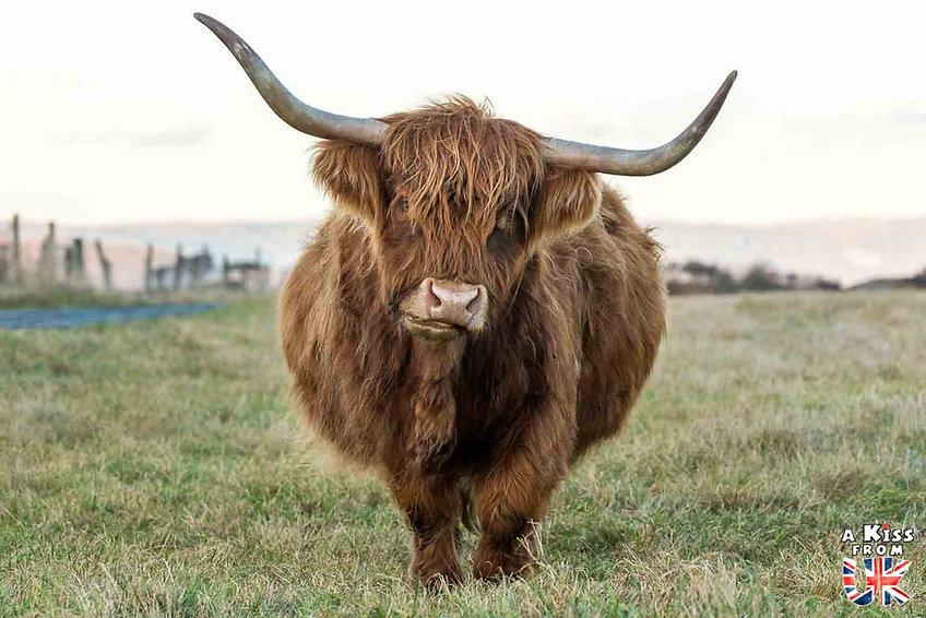 5 endroits où voir des vaches écossaises à coup sûr - Découvrez les mielleurs lieux pour trouver des vaches Highlands pendant votre voyage en Ecosse - A Kiss from UK le blog et guide du voyage en Grande-Bretagne