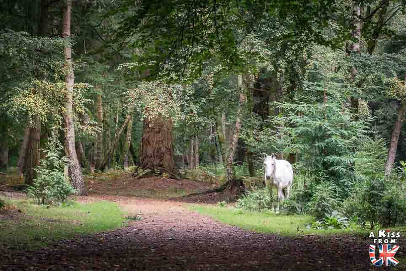 Les forêts de la New Forest - Les lieux à voir absolument en Angleterre en dehors de Londres. Découvrez quels sont les plus beaux endroits d'Angleterre et les incontournables à visiter en dehors de Londres lors de votre voyage - A Kiss from UK, le blog du voyage en Grande-Bretagne.