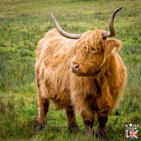 Vaches écossaises au Loch Achray en Ecosse - 5 endroits où voir des vaches écossaises à coup sûr - Découvrez les mielleurs lieux pour trouver des vaches Highlands pendant votre voyage en Ecosse - A Kiss from UK le blog et guide du voyage en Grande-Bretagne