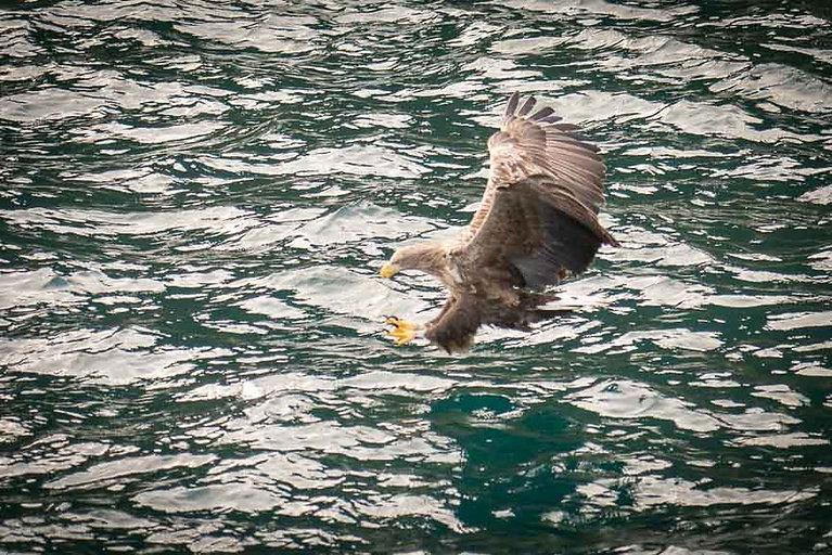 Un aigle sur l'île de Skye – Visiter l'île de Skye en 4 Jours – Découvrez un itinéraire de road trip en Ecosse pour passer 4 jours sur l'île de Skye - A Kiss from UK le guide et  blog voyage Ecosse.
