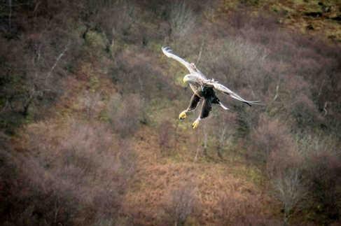 Aigle sur l'île de Skye - Visiter l'île de Skye en 4 Jours. A voir et à faire. Lieux à voir et itinéraire de Roadtrip en Ecosse sur l'île de Skye - A Kiss from UK le guide et  blog voyage Ecosse, Angleterre et Pays de Galles