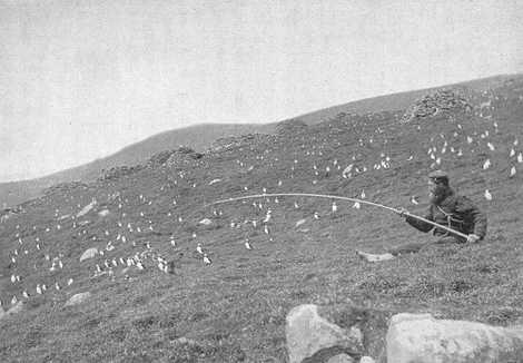 La chasse aux oiseaux sur l'île de St Kilda en Ecosse - Visiter St Kilda - Que voir sur l'île de St Kilda en Ecosse ? - A Kiss from UK, guide et blog voyage sur l'Ecosse.
