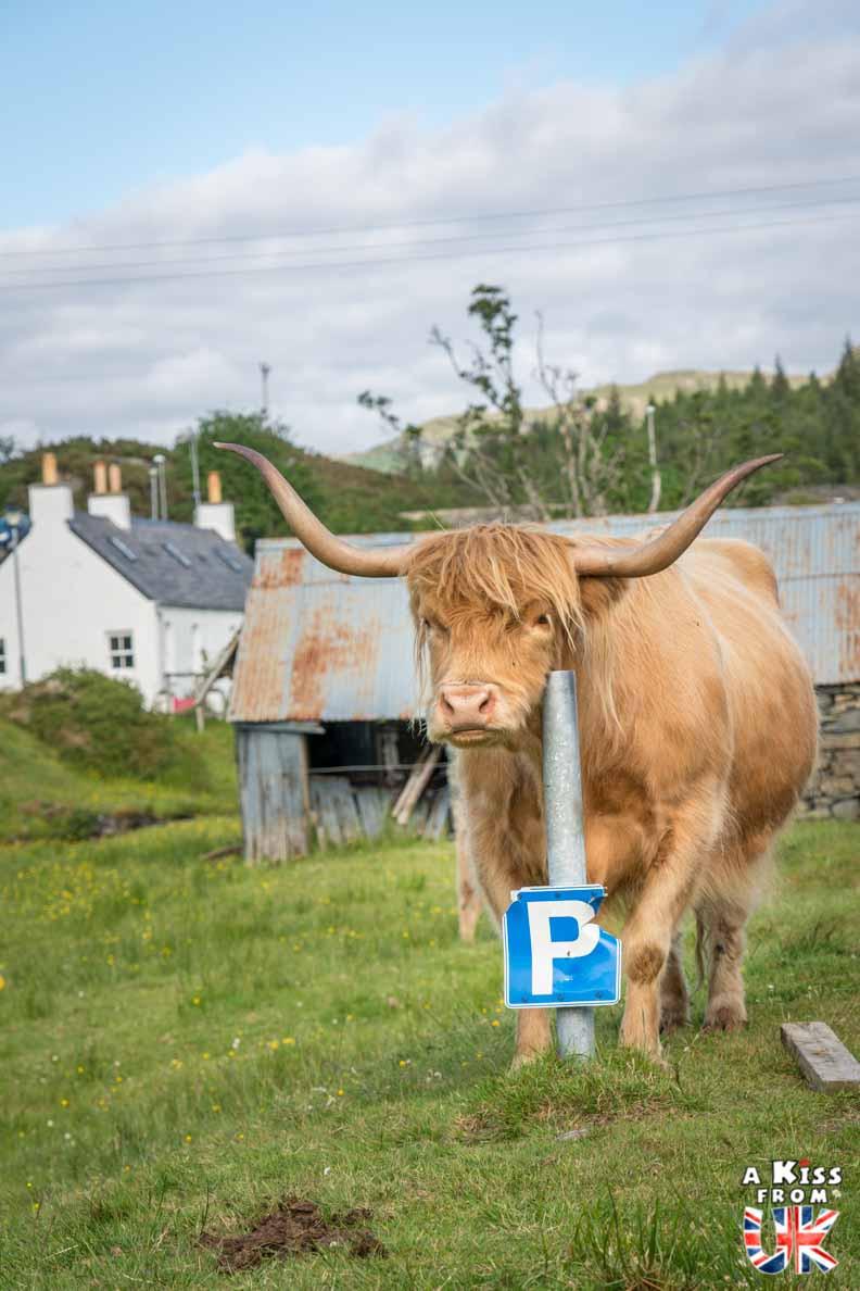 Duirinish, le village des vaches écossaises -  50 photos qui vont vous donner envie de voyager en Ecosse après l'épidémie de coronavirus - Découvrez en image les plus beaux endroits d'Ecosse à visiter.