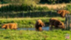 Vaches écossaises à Eynsford dans le Kent en Angleterre - 5 endroits où voir des vaches écossaises à coup sûr - Découvrez les mielleurs lieux pour trouver des vaches Highlands pendant votre voyage en Ecosse - A Kiss from UK le blog et guide du voyage en Grande-Bretagne