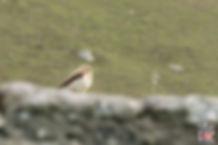 Troglodyte mignon ou wren de St Kilda - Visiter l'archipel de St Kilda en Ecosse - Que voir sur l'île de St Kilda en Ecosse ? - A Kiss from UK, guide et blog voyage sur l'Ecosse.