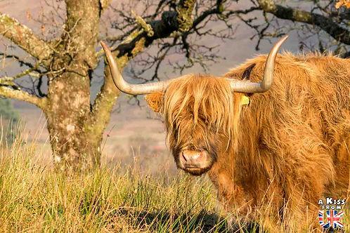 5 endroits où voir des vaches écossaises à coup sûr. Découvrez le meilleur de la Grande-Bretagne avec A Kiss from UK.