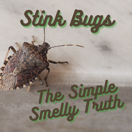 Stink Bugs - The Simple Smelly Truth and 10 Ways to Stop Them