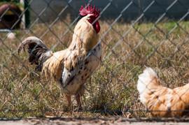 Chickens in a farmyard.jpg