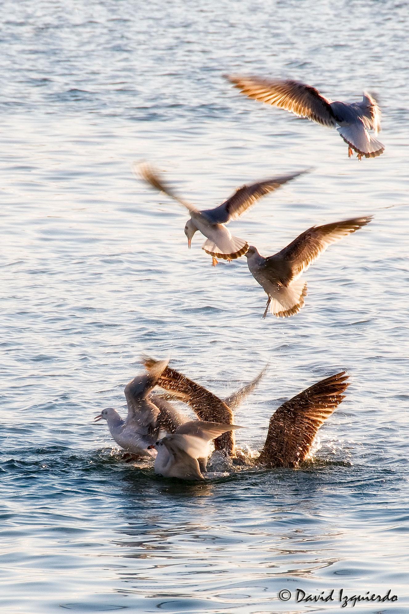 Gaviotas revoloteando sobre el mar