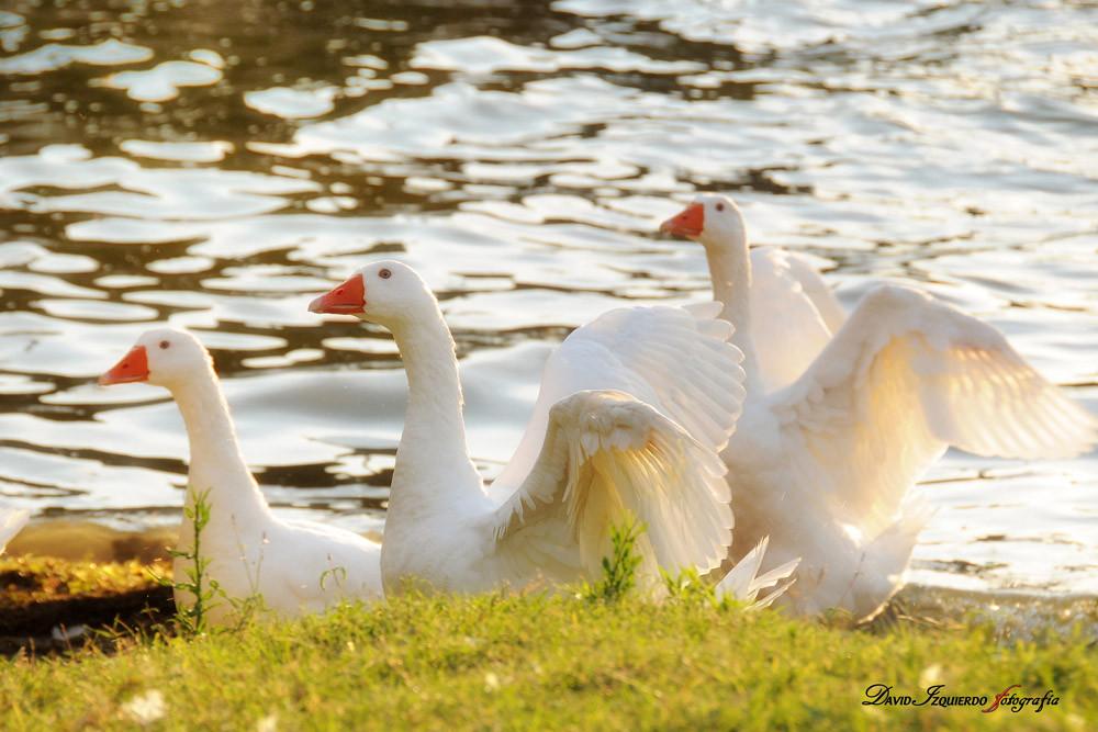 geese running on the sea shore2.jpg