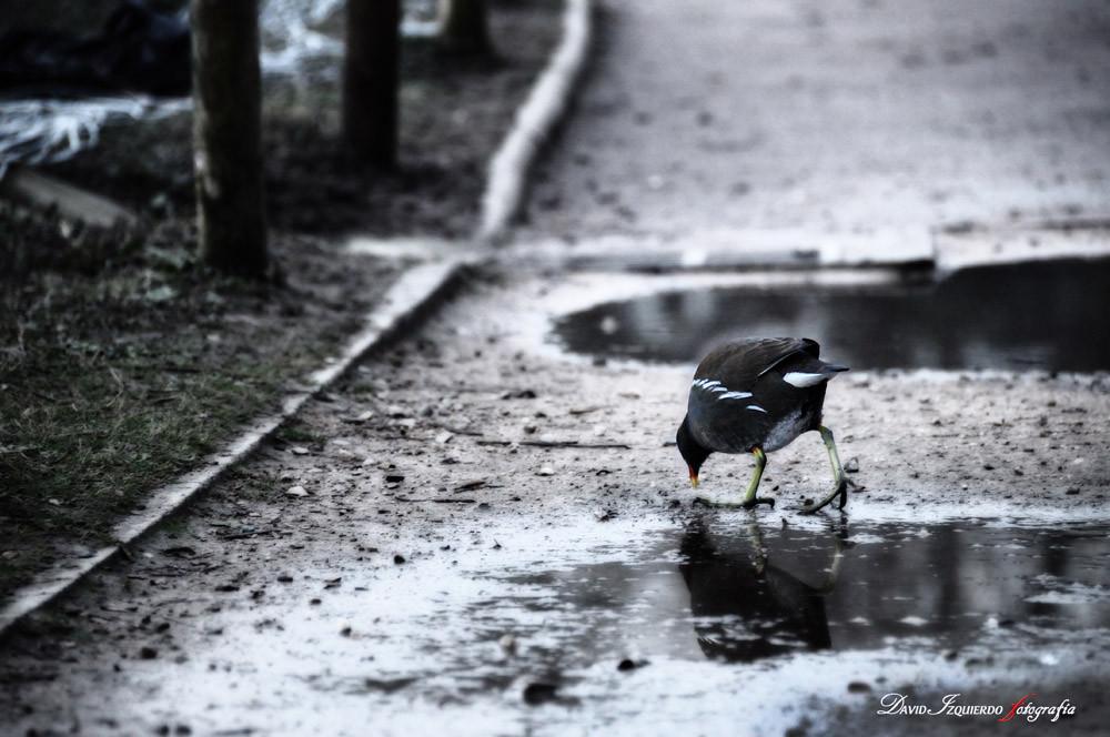 Polla de agua.jpg