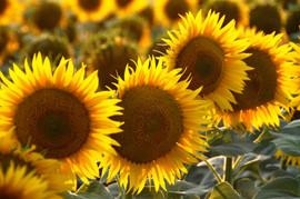 sunflowers field.jpg