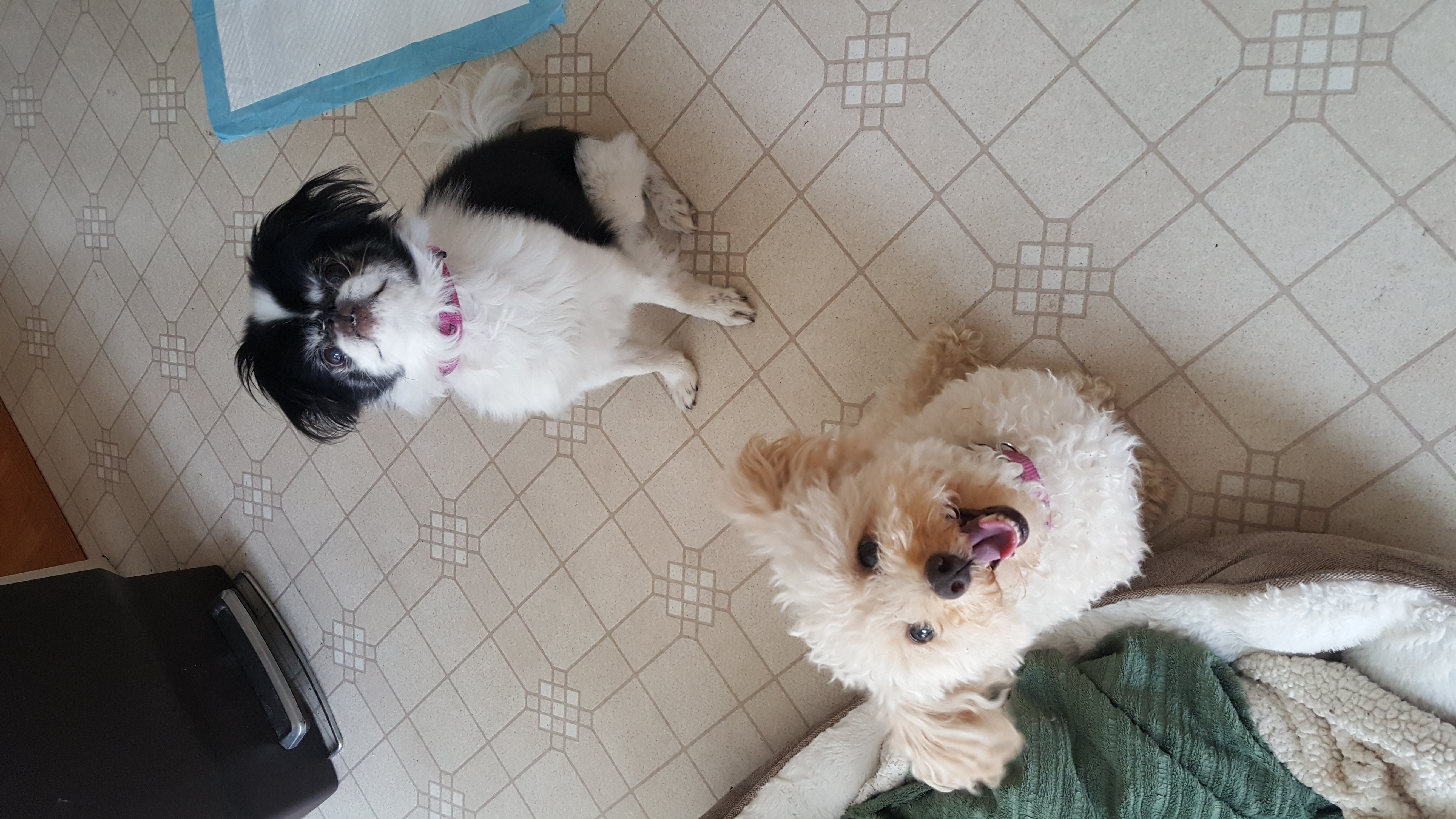 toy poodle Japanese chin Pikesville dog care