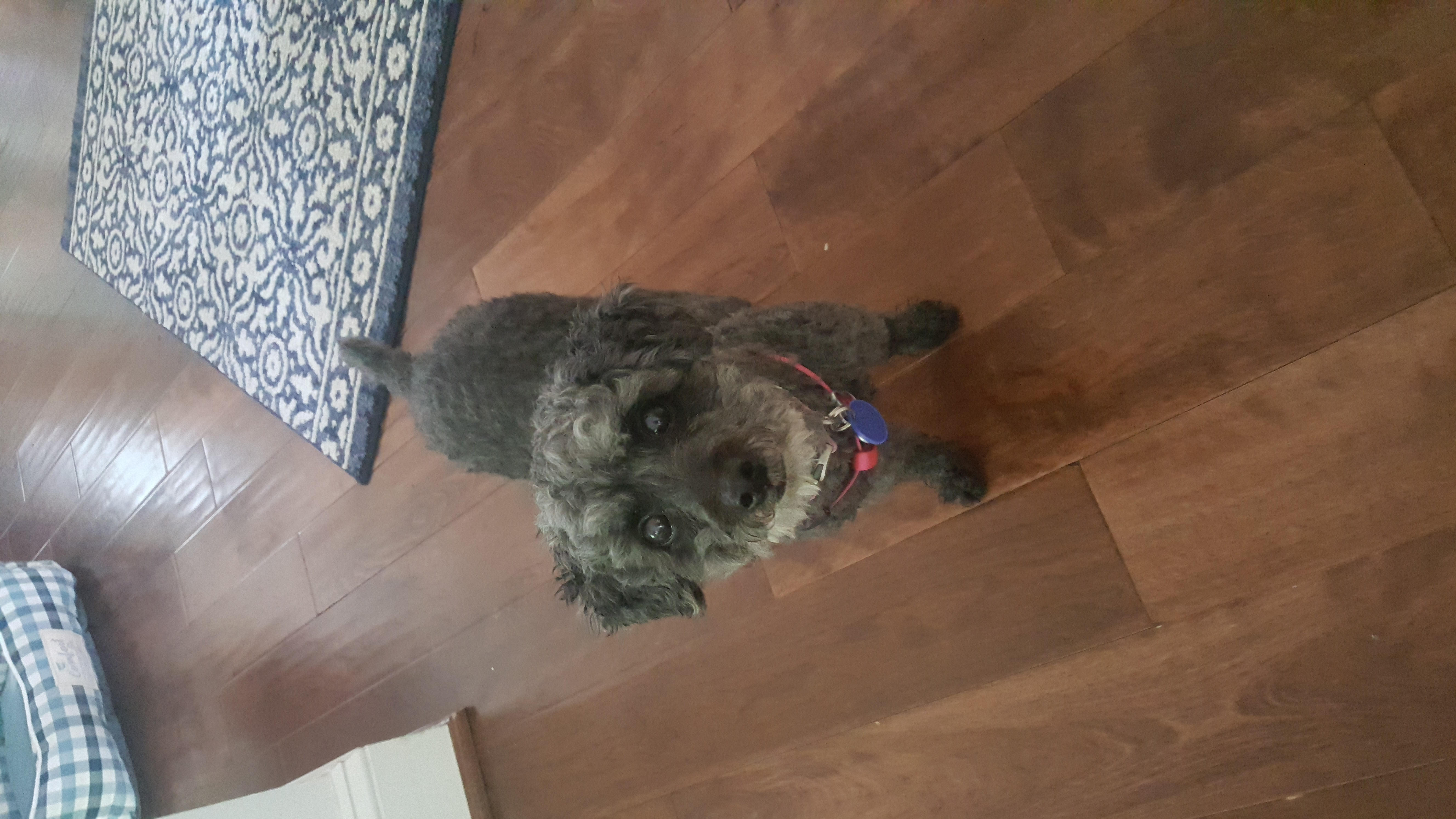 schnauzer timonium dog sitting