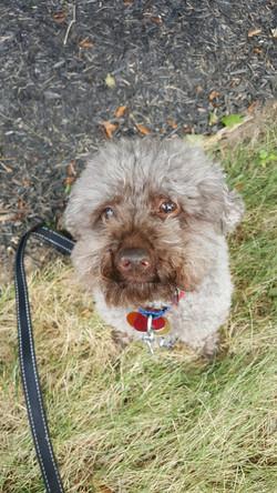 toy poodle Timonium dog sitting