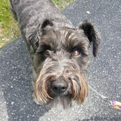 schnauzer lutherville dog sitting