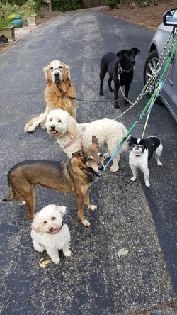 pack walking dog care Stevenson