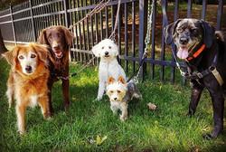 dog pack walking Timonium