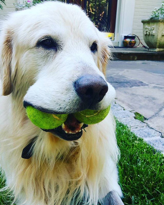 Dog sitting golden retriever Stevenson