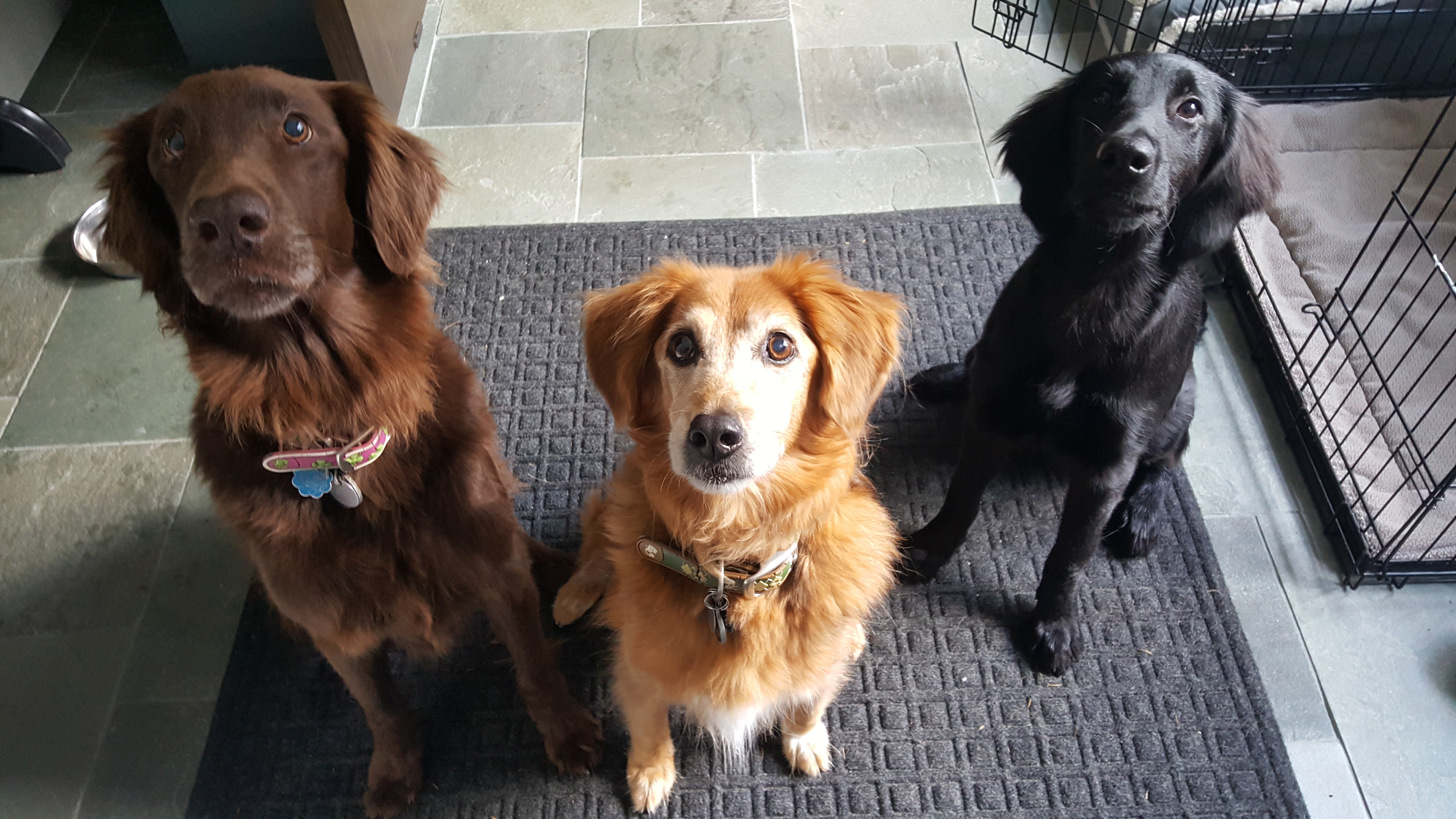 dog sitting lutherville-timonium flat coated retriever