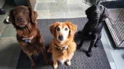 dog sitting lutherville-timonium flat coated retriever