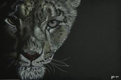 Snow Leopard1