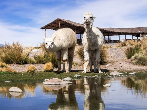 Two Alpacas drink from a lake in Peru