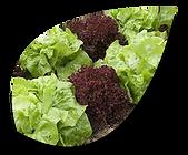 Légumes feuille