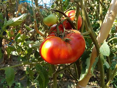 okka-domates-2.jpg