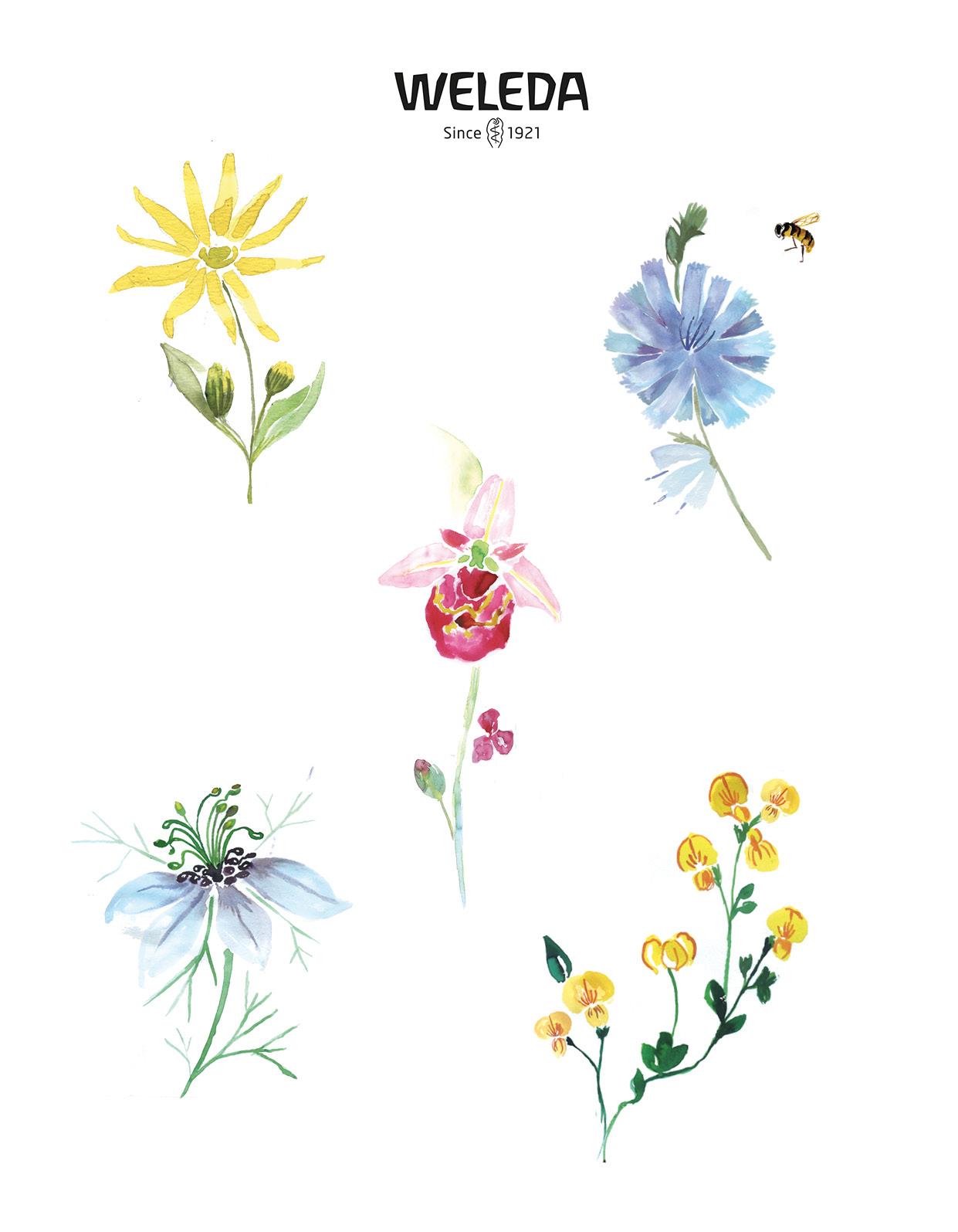 illustrations Weleda Julia Perrin