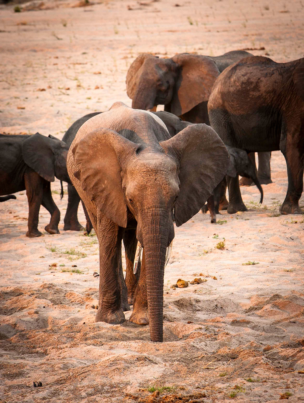 A young elephant drinks from a hole dug in the riverbed