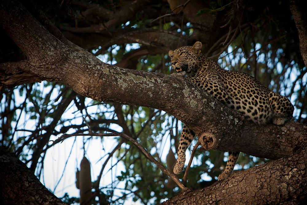 a leopard named Joy