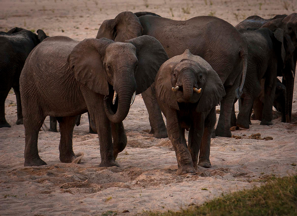 young elephants drink from the holes