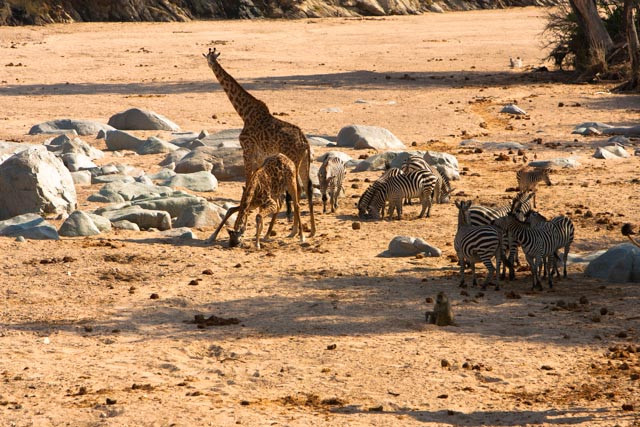 giraffe, zebra & baboons drink from the holes the elephants have made in the riverbed.