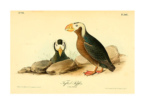Tufted Puffins Illustration Notecard