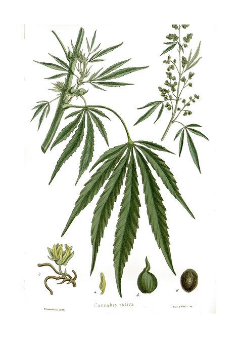 Cannabis Sativa Notecard