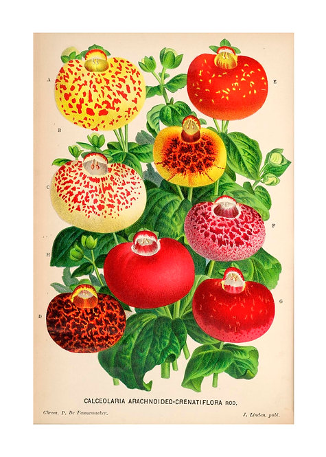 Belgian Calceolaria Notecard