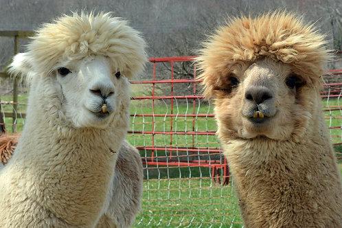 Ringo the alpaca and friend notecard