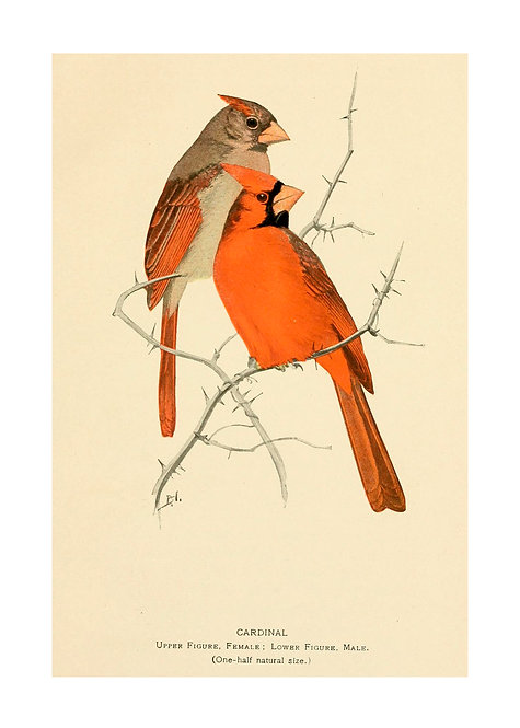 Pair of Cardinals Illustration Notecard