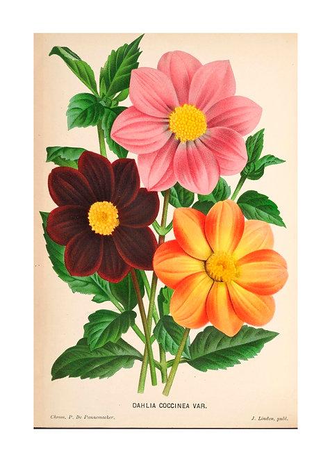 Belgian Dahlias Notecard