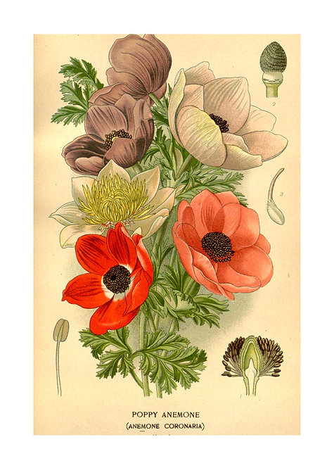 Poppy Anenome Notecard