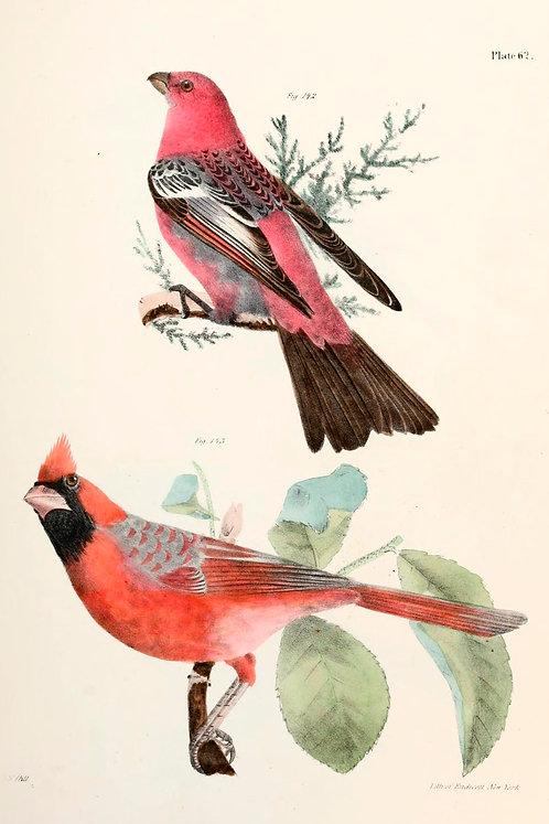 Cardinals Illustration Notecard
