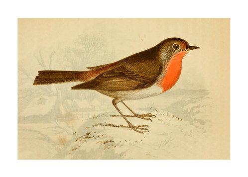Robin Illustration Notecard