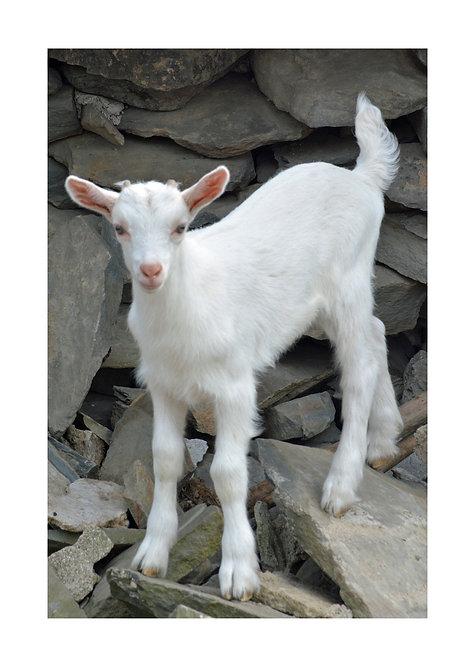 Kid Goat Notecard
