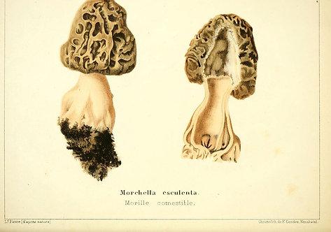 Morella Esculenta