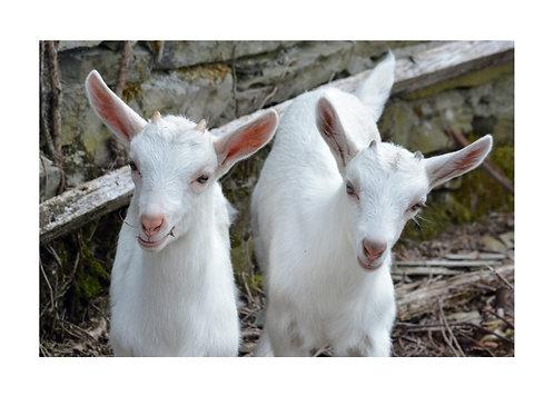 Kid Goats Notecard