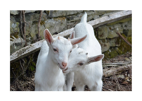 Kid Goats Snuggling Notecard